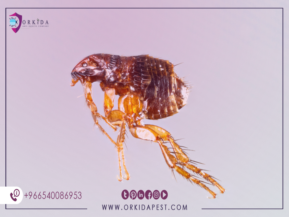 Eliminating fleas in natural ways - The best steps to get rid of fleas and their damage