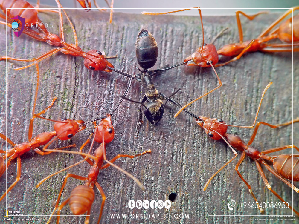 Treating ants completely - If you want to protect your family from ants follow the following control methods تمت المشاهدة بواسطة Donia Amer في 11:09 م
