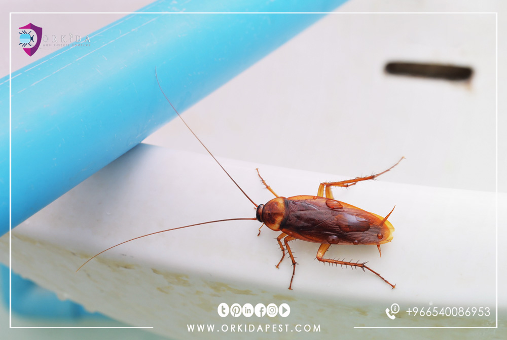 Extermination of cockroaches - Can cockroaches be controlled in the home in natural ways?
