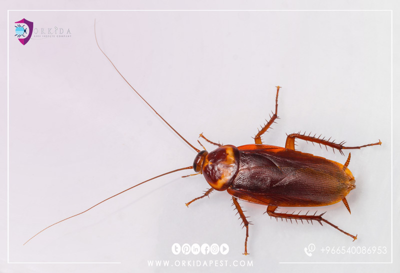 American cockroach - information and ways to get rid of the American Cockroach