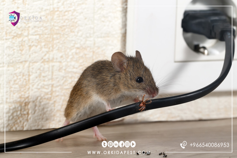 Get rid of mice forever - Here are many ways you can eliminate mice