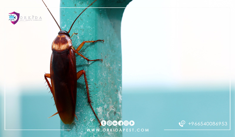 Eliminate cockroaches permanently - How to get rid of cockroaches safely and fast