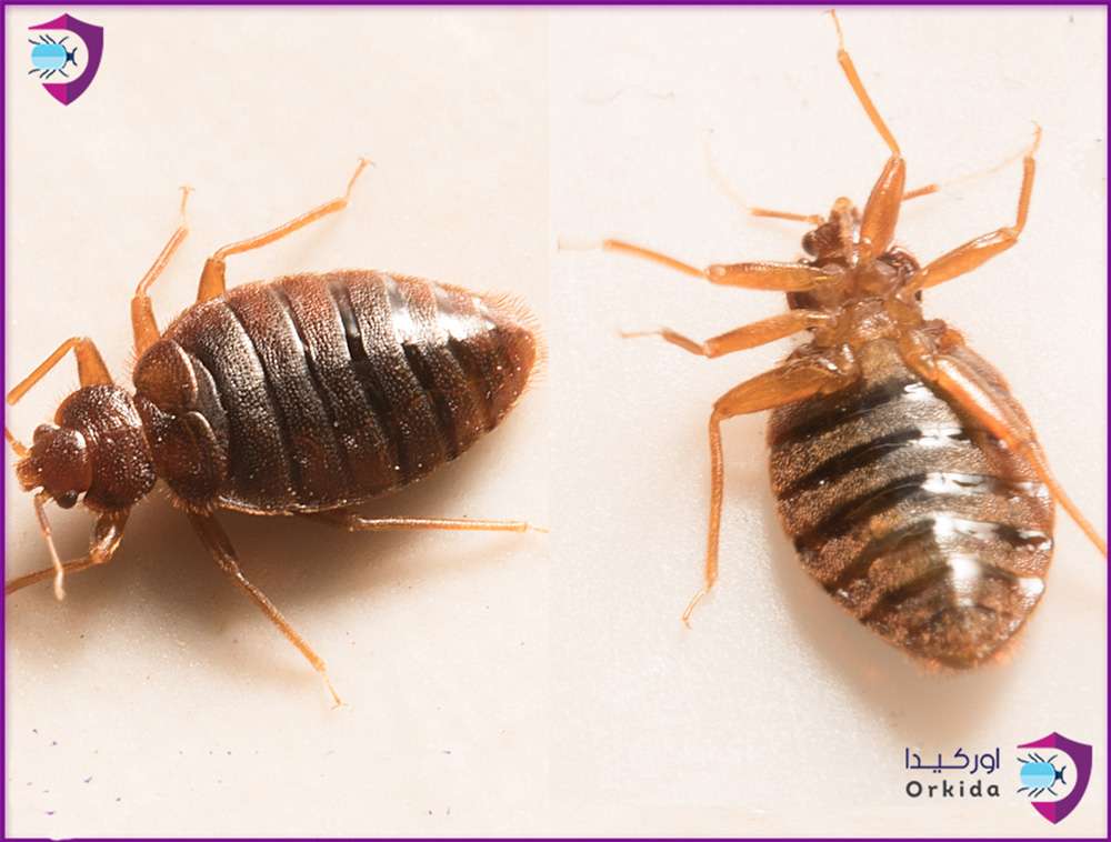 bug close to bedbug bugs solution eliminate from bed forever up where ways does come