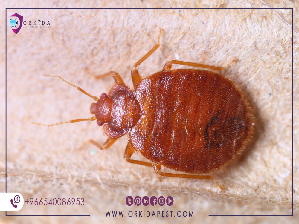 Bed Bugs control company in Jeddah