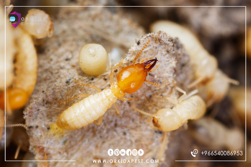 Termites control company in jeddah
