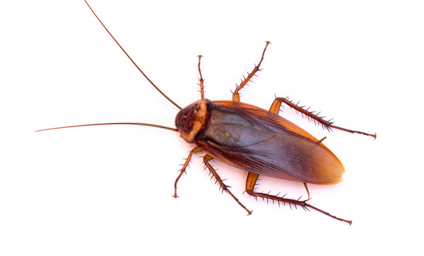 American Cockroaches