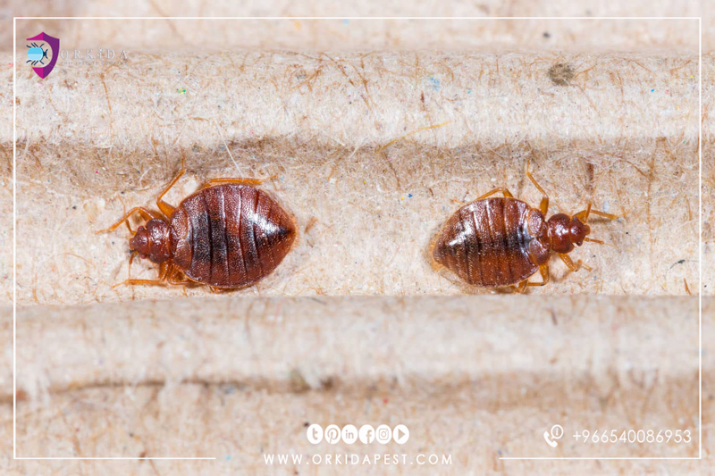 Bed Bugs Control Company In Jeddah The Best Treatment For Bed Bugs