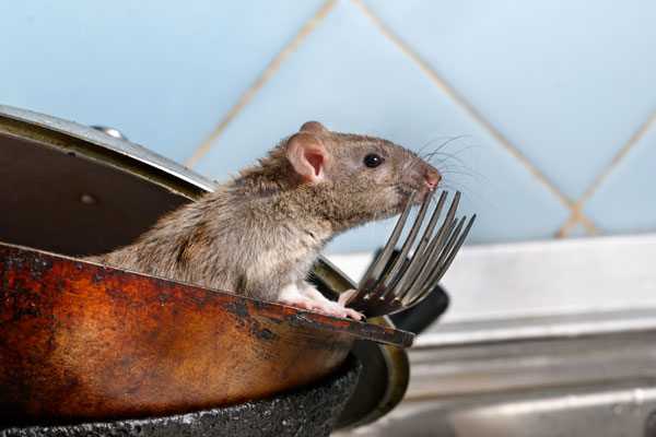 Rats control company in Jeddah